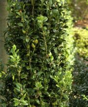 Buchsbaum Graham Blandy, Buxus sempervirens Graham Blandy