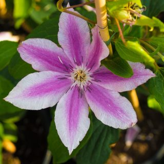 Waldrebe Carnaby / Clematis Carnaby