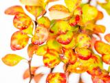 Fackel-Berberitze Golden Torch, Berberis thunbergii Golden Torch