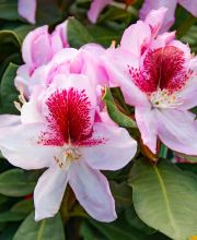Rhododendron Belami ®
