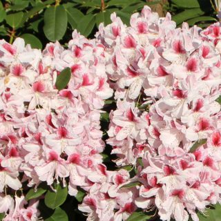 Rhododendron Belami / Rhododendron Belami