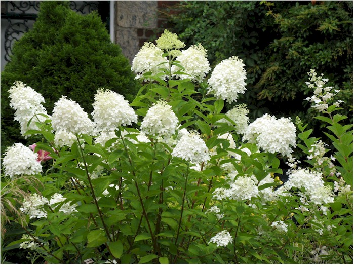 rispenhortensie grandiflora hydrangea paniculata. Black Bedroom Furniture Sets. Home Design Ideas