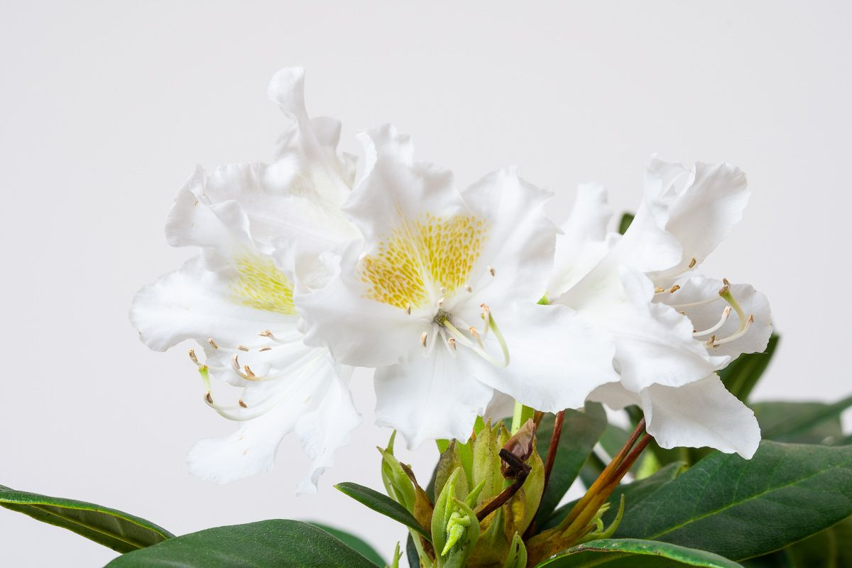 Rhododendron Cunninghams Snow White