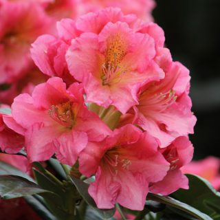 Rhododendron Dolcemente / Rhododendron Hybride Dolcemente