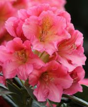 Rhododendron Dolcemente