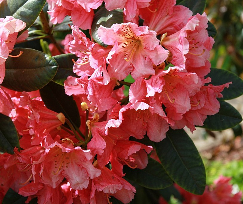 rhododendron guys Some 300 of the thousand known rhododendron  //wwwsfgatecom/homeandgarden/article/vireya-rhododendrons-still-prize-to  and not one of our lazy men .