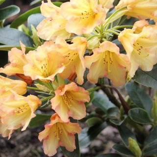 Rhododendron September-Flair / Rhododendron Hybride September-Flair