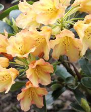 Rhododendron September-Flair