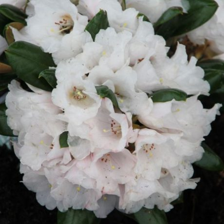 Rhododendron Wanna Bee
