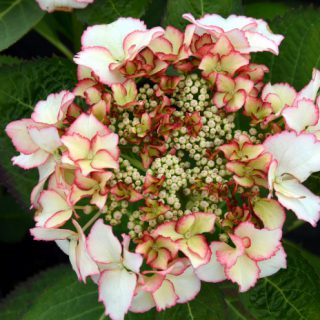 Bauernhortensie Love You Kiss / Hydrangea Love You Kiss