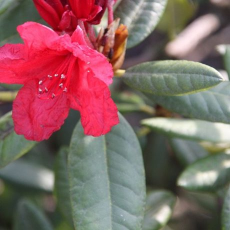 Rhododendron September Red / Rhododendron hybride September Red