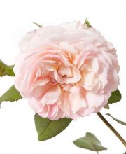 Englische Rose A Shropshire Lad