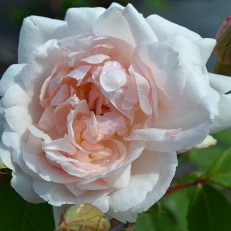 Kletterrose Madame Alfred Cariere / Rosa Madame Alfred Cariere