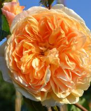 Englische Rose Crown Princess Margareta
