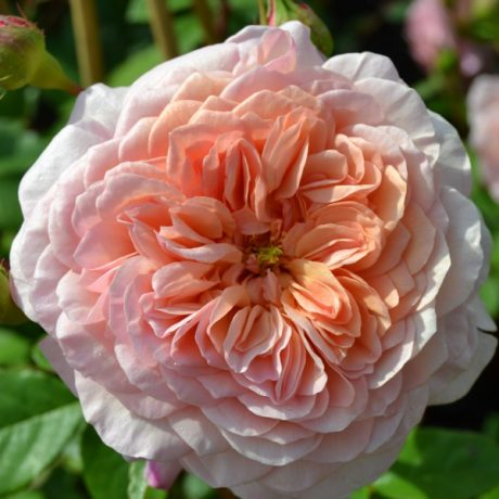 Englische Strauchrose William Morris