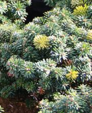 Koreatanne Cis, Abies koreana Cis
