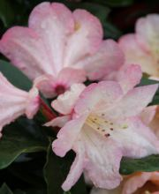 Rhododendron Malwine