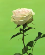 Strauchrose Lovely Green
