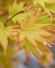 Japanischer Goldahorn Autumn Moon, Acer shirasawanum Autumn Moon