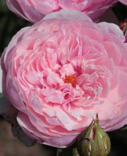 Rose The Alnwick Rose ®, Rosa The Alnwick Rose ®