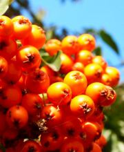 Feuerdorn Orange Charmer, Pyracantha Orange Charmer