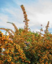 Feuerdorn Orange Glow, Pyracantha Orange Glow