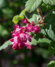 Zierjohannisbeere Pulborough Scarlet, Ribes sanguineum Pulborough Scarlet
