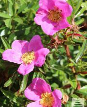 Glanzblättrige Rose
