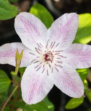 Waldrebe Fair Rosamond, Clematis Fair Rosamond