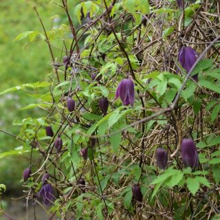 Alpen-Waldrebe Tage Lundell / Clematis alpina Tage Lundell