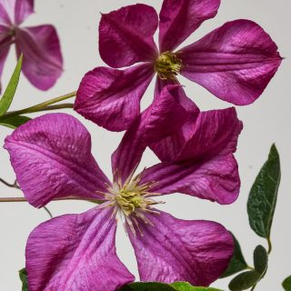 Waldrebe Margot Koster / Clematis Margot Koster