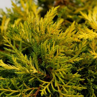 Teppichwacholder Golden Carpet / Juniperus horizontalis Golden Carpet