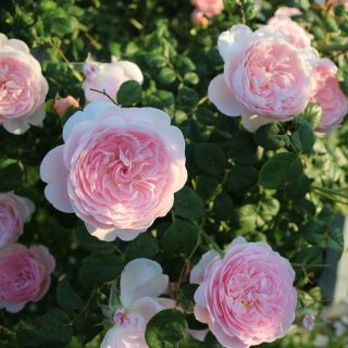 Strauchrose Queen of Sweden / Rosa Queen of Sweden
