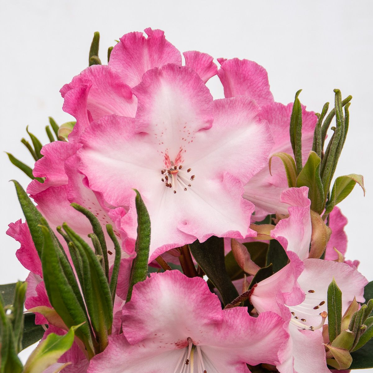 Rhododendron Lem´s Monarch