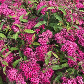 Rote Sommerspiere / Spiraea japonica Anthony Waterer