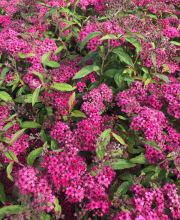 Rote Sommerspiere, Spiraea japonica Anthony Waterer