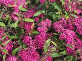 Rote Sommerspiere Anthony Waterer, Spiraea japonica Anthony Waterer