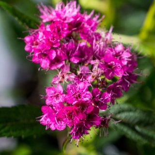 Rote Sommerspiere Anthony Waterer / Spiraea japonica Anthony Waterer