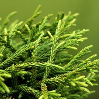 Zwerg-Sicheltanne / Cryptomeria japonica Little Champion