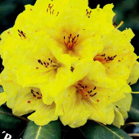 Rhododendron Bohlkens Laura