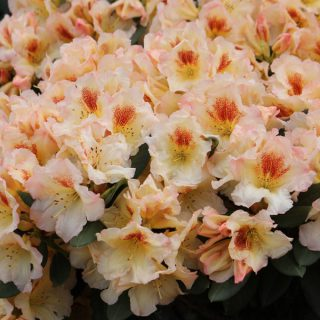 Rhododendron Marylou / Rhododendron Hybride Marylou