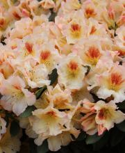 Rhododendron Marylou