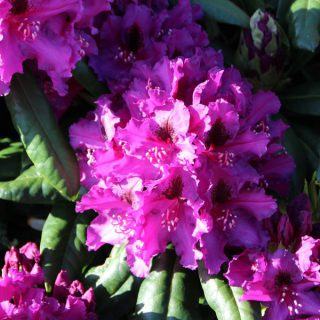 Rhododendron Mogambo / Rhododendron Hybride Mogambo