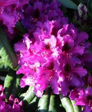 Rhododendron Mogambo