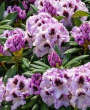 Rhododendron Pinguin
