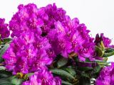Rhododendron Bohlkens Lupinenberg, Rhododendron yakushimanum Bohlkens Lupinenberg -R-
