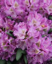 Rhododendron Bohlkens Lupinenberg