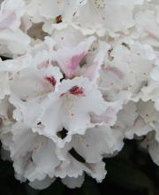 Rhododendron Harkwood Premiere