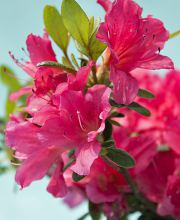 Rhododendron Drapa ®