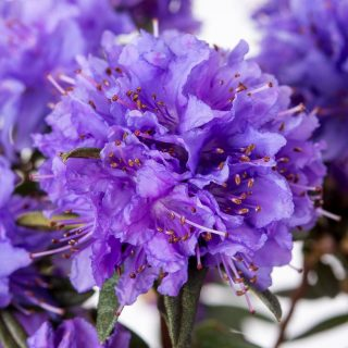 Rhododendron Maggie